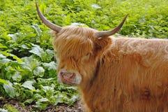 Górska krowa Obrazy Stock