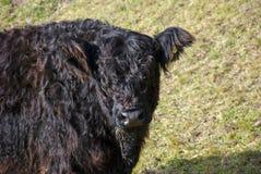 Górska krowa Obrazy Royalty Free
