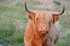 Górska krowa Zdjęcia Royalty Free