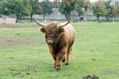Górska krowa Zdjęcie Royalty Free