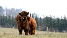 Górska krowa zdjęcie wideo