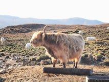 Górska krowa Fotografia Royalty Free