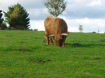 Górska krowa Obraz Stock