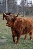 Górska krowa chodzi w pobliżu Zdjęcie Royalty Free