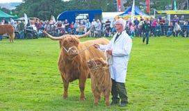 Górska krowa i łydka przy Grantown Fotografia Royalty Free
