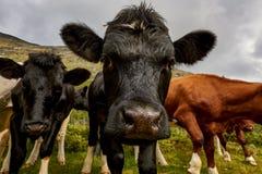 Górska krowa, Jotunheimen park narodowy Fotografia Stock