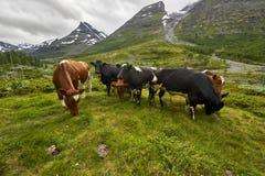 Górska krowa, Jotunheimen park narodowy Zdjęcie Royalty Free