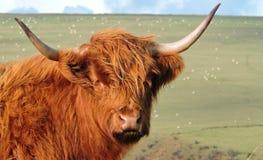 Górska krowa na moorland w świetle słonecznym obraz stock