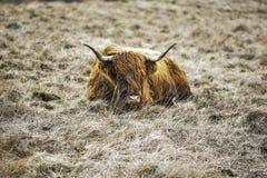 Górska krowa Na Niewygładzonej ziemi uprawnej, Szczytowy Gromadzki park narodowy, Derbyshire, UK obraz stock