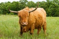 Górska krowa w łące Zdjęcie Royalty Free