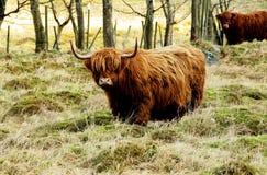 Górska krowa w padoku Zdjęcie Stock