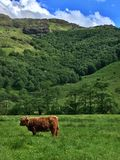 Górska krowa w roztoce Etive Fotografia Stock