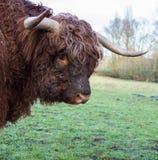 Górska krowa (zakończenie) Zdjęcia Royalty Free