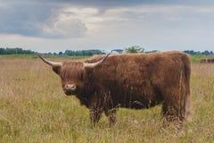 Górski bydło byk na greenfield burzowych chmurach za obraz royalty free