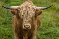 Górski bydło w portreta pasaniu w zielonym paśniku, śliczna krowa w średniogórzach, Szkocja, UK obraz stock