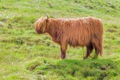 Górski bydło, wyspa Skye, Szkocja Fotografia Stock