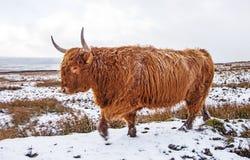 Górski byk na Śnieżnym Cumuje Obrazy Stock