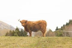 Górski krowa profil Fotografia Royalty Free