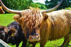 Górskie krowy Obraz Stock