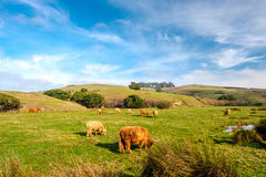 Górskie krowy na polu, Kalifornia Fotografia Royalty Free