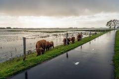 Górskie krowy pasa za ogrodzeniem na skłonie embankme Obrazy Stock