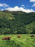 Górskie krowy w roztoce Etive Obrazy Stock