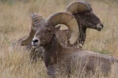 górskie owce skaliści bighorn Obraz Royalty Free