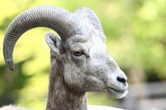 górskie owce skaliści bighorn Obrazy Royalty Free