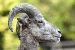 górskie owce skaliści bighorn Obraz Stock