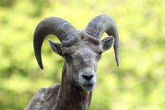 górskie owce skaliści bighorn Fotografia Royalty Free