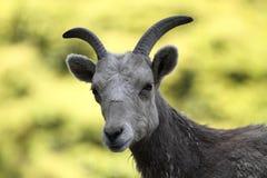 górskie owce skaliści bighorn Zdjęcie Stock