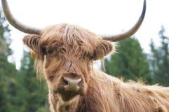 Górskie szkockie krowy Zdjęcia Royalty Free