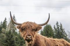 Górskie szkockie krowy Obraz Royalty Free