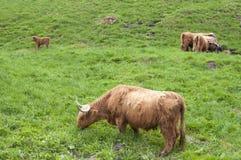 Górskie szkockie krowy Fotografia Stock