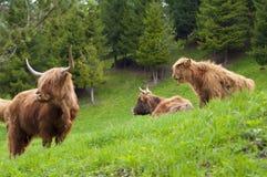 Górskie szkockie krowy Obrazy Royalty Free