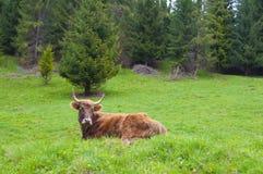 Górskie szkockie krowy Zdjęcie Royalty Free