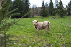 Górskie szkockie krowy Obraz Stock