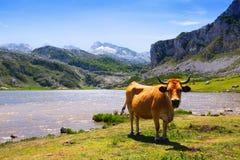 Góry kształtują teren z jeziorem i krową Zdjęcia Royalty Free