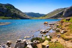 Góry kształtują teren z jeziorem i krowami Jeziorny Enol Zdjęcia Royalty Free