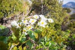 Góry lelui Kucbarscy kwiaty, dziwki dolina, Aoraki góra Cook Fotografia Royalty Free