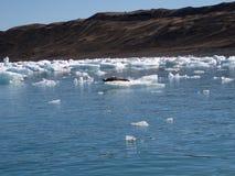góry lodowe pieczęć Obraz Royalty Free