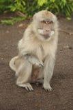 Góry małpa przy Bali, Indonezja Obraz Stock