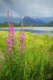 Góry Rundle Fireweed Zdjęcia Stock