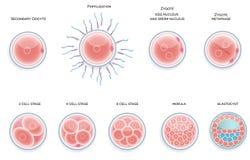 Gödslad cellutveckling. Etapper från befruktningkassalådamoru Arkivbild