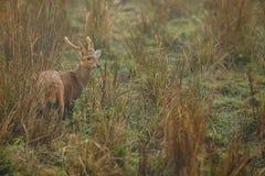 Gödsvinhjortar på grässlätten av Kaziranga i Assam Royaltyfri Foto