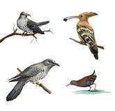 Gök på ett träd, en Hoopoe (Upupaepops) och en vattenfågel som isoleras på vit bakgrund. Royaltyfri Foto