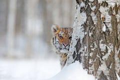 Gömd framsidastående av tigre Tiger i lös vinternatur Amur tigerspring i snön Handlingdjurlivplats, faradjur Royaltyfri Fotografi