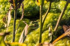 Gömd groda i sjön royaltyfri foto