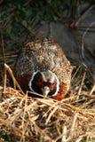 gömd pheasant Royaltyfri Foto