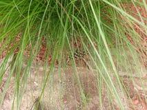 Gömd pinecone Royaltyfria Bilder